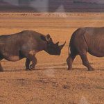 Dimension Data and Cisco Announce Project to Protect Rhino by Tracking People